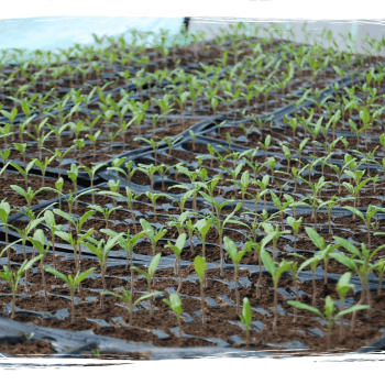 AGROBION seminte si rasaduri de legume